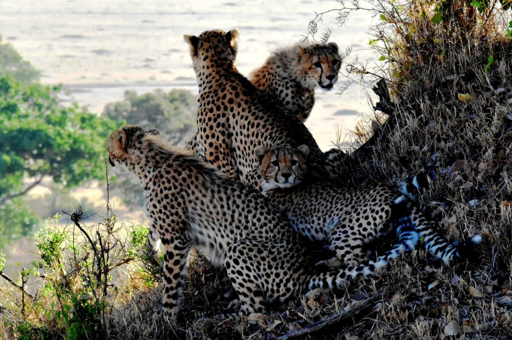 Geparden Familie, Familienaufstellung