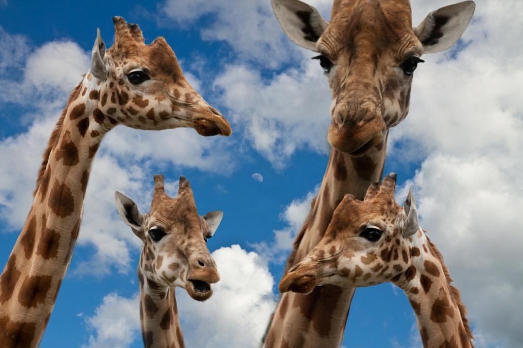 Giraffenfamilie, Familienaufstellung