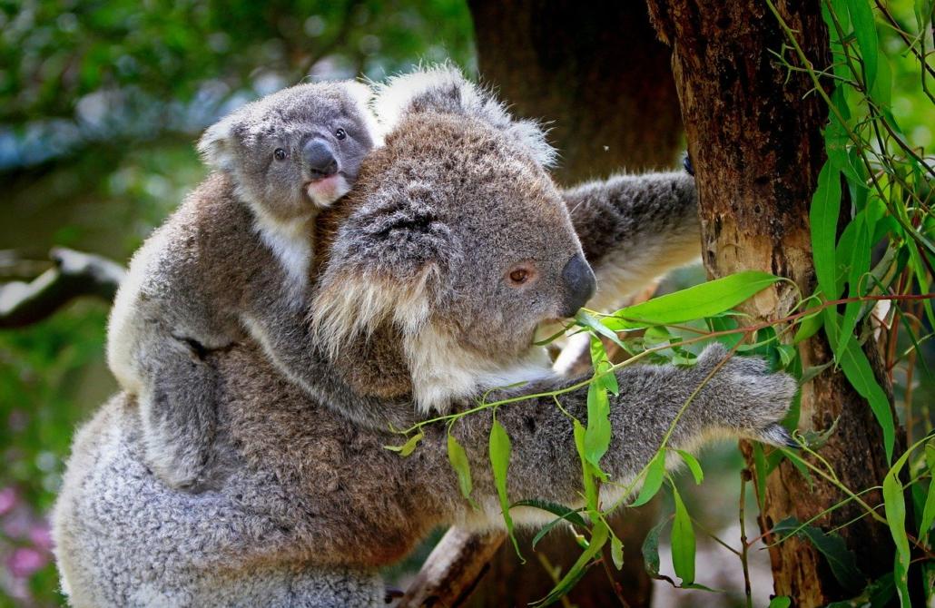 Koala Familie, Familienaufstellung
