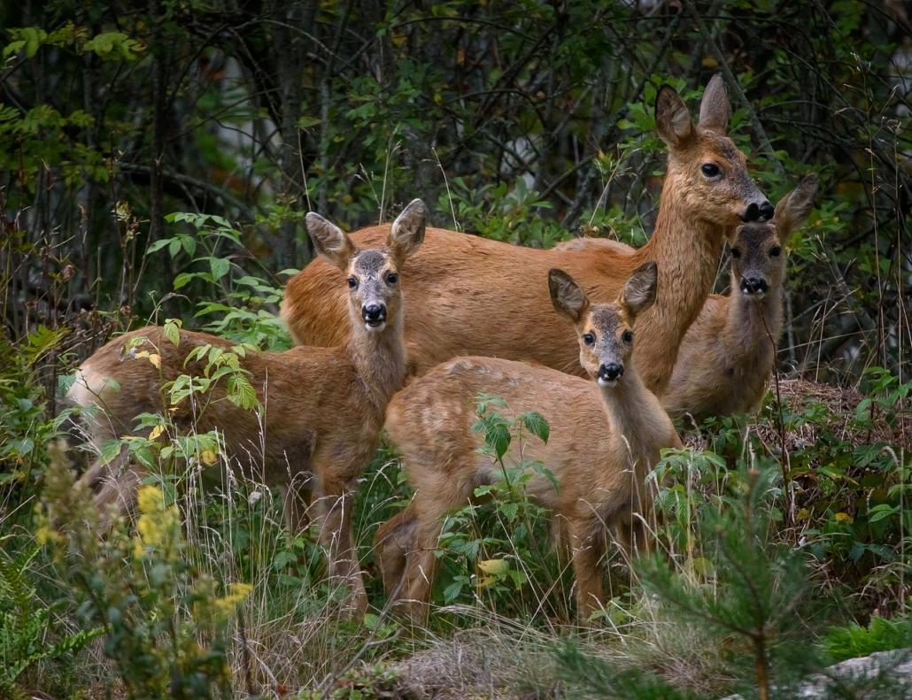 Tierfamilie Reh, Familienaufstellung
